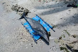 Dead dolphin found in Zamboanga beach