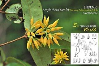 LOOK: New species of mistletoe found in Davao Oriental