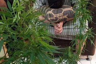 Yemeni na dawit sa pagtatanim ng marijuana tiklo sa Baguio