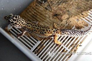 Buhay na leopard gecko na padala mula Thailand nasabat ng Customs