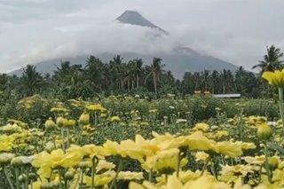 Flower farm sa Daraga, Albay handa na para sa Undas