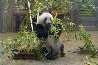 Tokyo zoo announces panda pregnancy as it reopens after virus closure