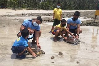 2 pawikan nasagip sa Northern Samar