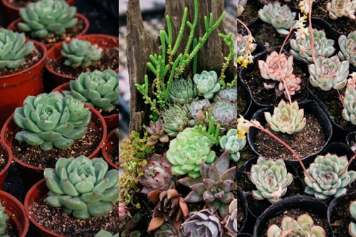 The best, export-ready succulents come from this part of Benguet