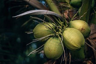 Coconut, acupuncture, and other natural preventive measures against COVID-19