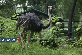 Backstory of runaway ostriches revealed—after one of them dies and becomes adobo