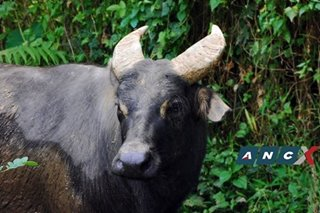 Kalibasib, the last captive-bred Philippine tamaraw, dies at 21