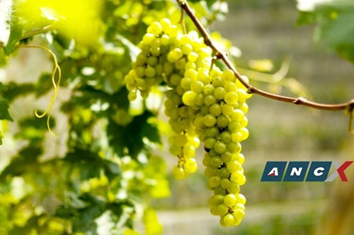 Did you know you can pick grapes this plump in Tagaytay soon?